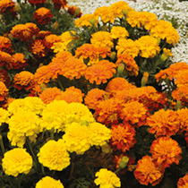 Marigold (French) Seeds - Boy 0'Boy Mixed