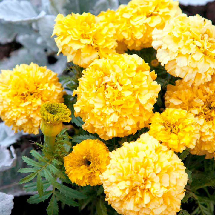 Marigold (African) Seeds - Lemon Hedger