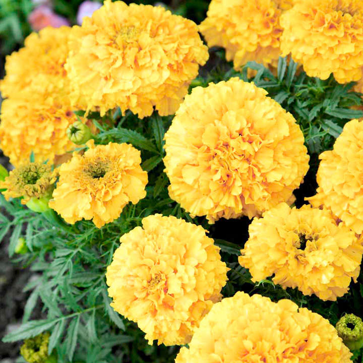 Marigold (African) Seeds - Golden Hedger