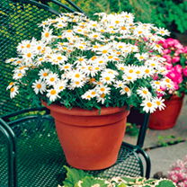 Argyranthemum Plant - Grandaisy White