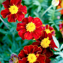 Marigold (French) Seeds - Red Knight