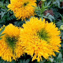 Image of African Marigold Plants - Mission Giant