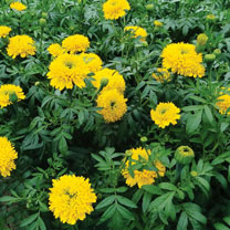 African Marigold Plants - Mission Giant