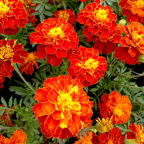 Marigold (French) Seeds - Firebird