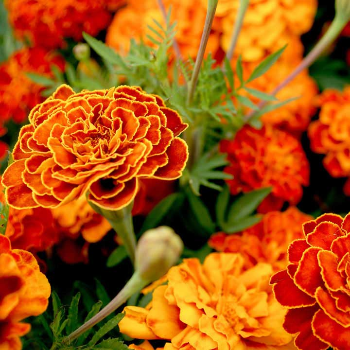 French Marigold Seeds - Spanish Brocade