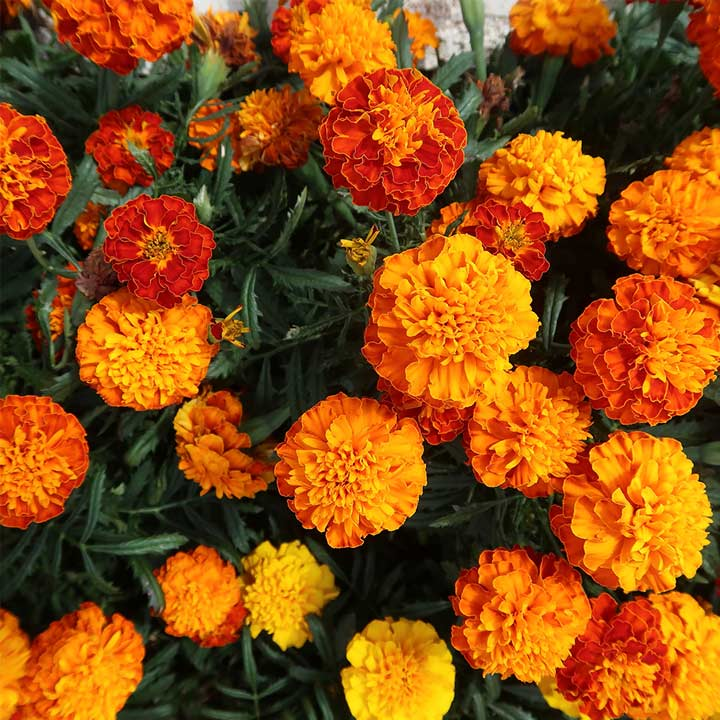 Marigold (French) Seeds - Honeycomb
