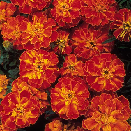 Marigold (Afro-French) Seeds - Zenith RED F1