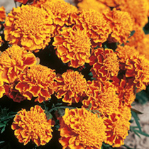 Marigold (French) Seeds - Honeycomb