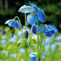 Everyone loves the 'blue poppy and Lingholm is the largest flowered variety of those available with teh deepest colour too. Easier to grow than other