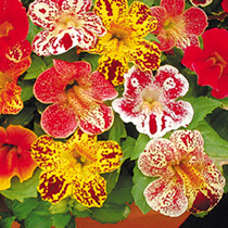 Mimulus Seeds - Little Devil F2