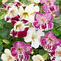 Mimulus Plants - Magic Spring Blossom Mix