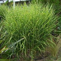 Miscanthus Plant - Strictus
