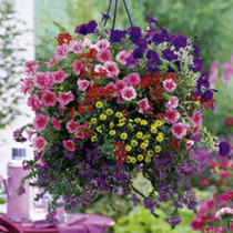 Bigger Bumper Basket Super Plug Plants - Collection