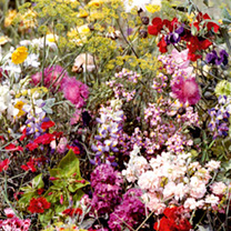 Flowering Mixture Seeds - Fragrant Mix
