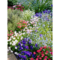 Mixed Spring Bedding Plants