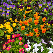 Winter/Spring Bedding Plants Lucky Dip - Extra Value Plugs