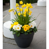Primula Plants/Daffodil Bulbs - Twin Pack