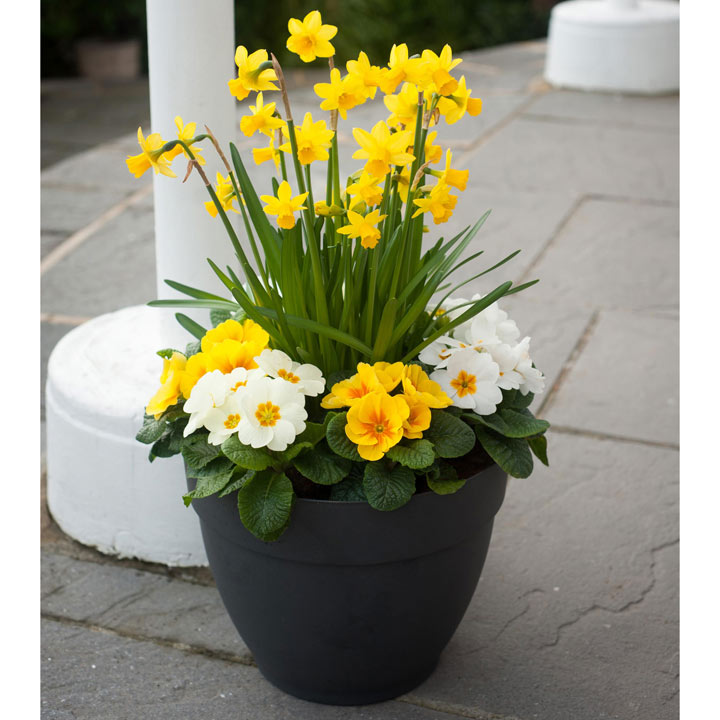 Primula Plants/Daffodil Bulbs - Twin Pack