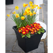 Primula Plants/Daffodil Jetfire Bulbs - Twin Pack