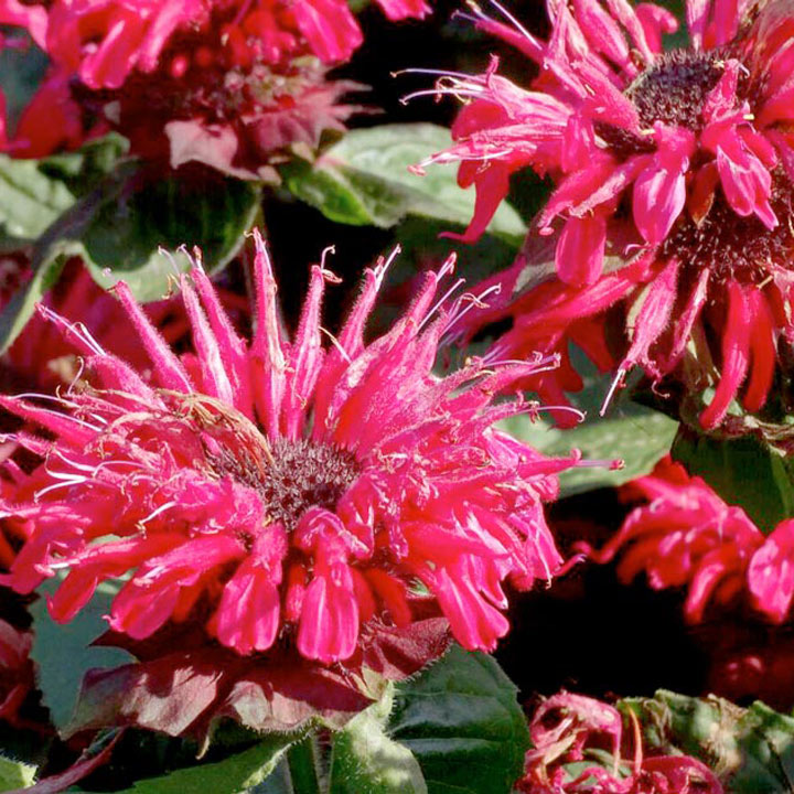 Monarda Plants - Bee Happy/True Twin Pack