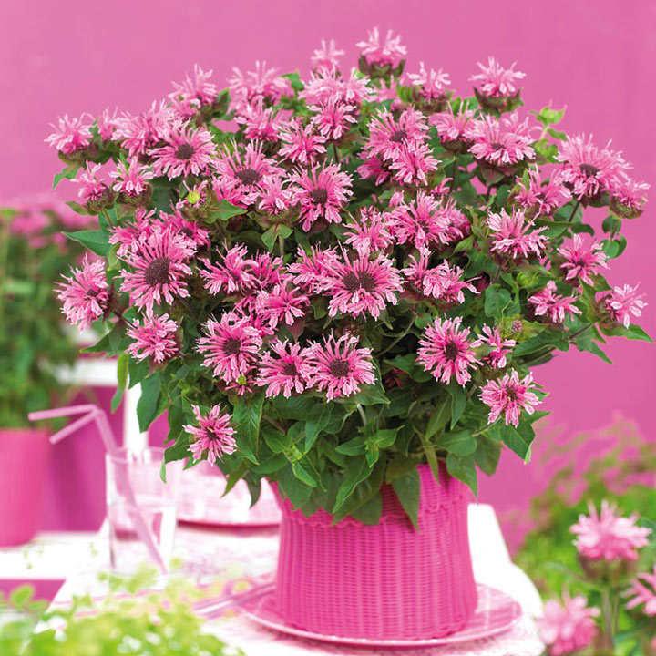 Monarda Plant - Pink Lace