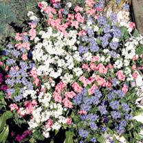 Myosotis Plants - Sylva Mix