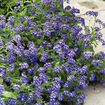 Image of Forget-Me-Not Plants - Sylva Blue