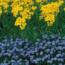 Our favourite myosotis, Compindi is several shades darker blue than normal types giving a much greater colour effect in the garden. RHS Perfect For Po