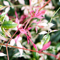 Nandina domestica Plant - Twilight®