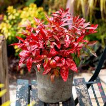 Nandina domestica Plant - Blush Pink NOBLE®