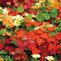 Our favourite nasturtium for border use. The flowers differ from normal nasturtiums in being spurless (the long spike behind a normal nasturtium flowe