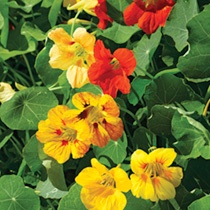 Nasturtium Seeds - Tall Mixed