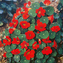A plant to stop you in your tracks! Brilliant crimson flowers sit above dark green foliage. Perfect with dark blue lobelia Crystal Palace. Stunning! H