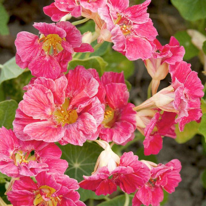 Nasturtium Seeds - Jewel Cherry Rose