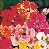 Extra large flowers of bronze, scarlet, crimson, cerise, rose-pink, orange, primrose and white. Height 23-30cm (9-12). HHA Half-hardy annual. You will
