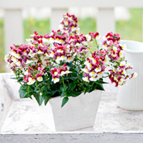 Nemesia Plants - Sunpeddle Painted Rose