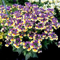 Nemesia Plants - Plums & Custard