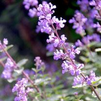 Nepeta (Catmint) Plant - Purrsian Blue