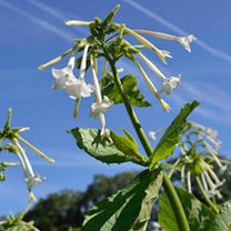 Tall, graceful plants with large, white, tubular flowers. Utter perfumed bliss on a summer evening around the patio. RHS Perfect For Pollinators. Heig