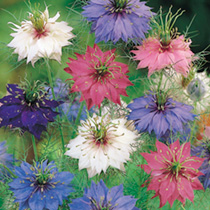 Nigella Seeds - Persian Jewels Mixed
