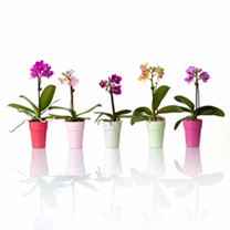 Image of Orchid Plant - Miniature