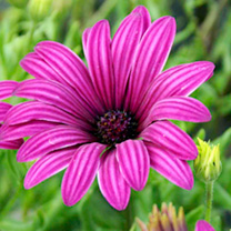 Osteospermum (Hardy) Plants - Tresco Purple