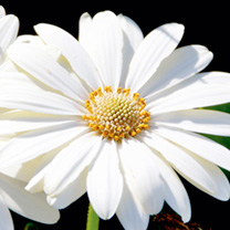 Osteospermum Plants - Snow Pixie