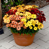 Osteospermum Plants - Akila Sunset Shades