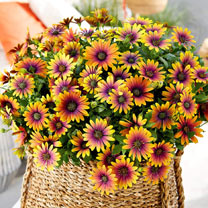 Osteospermum Plants - Purple Sun