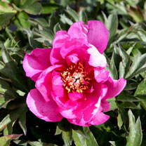 Paeonia Plant - ITOH 'First Arrival'