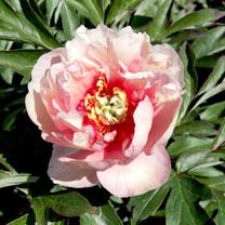 Paeonia Plant - ITOH Canary Brilliants