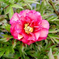 Paeonia Plant - ITOH Julia Rose