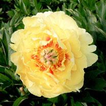 Paeonia Plant - ITOH Garden Treasure