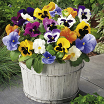 Pansy Plant - Bucket Mix